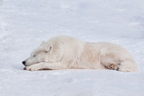 Wild polar wolf is sleeping on white snow. Arctic wolf or white wolf. Animals in wildlife.