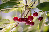 Bunch of ripe sour cherries hanging on a tree - 206801422