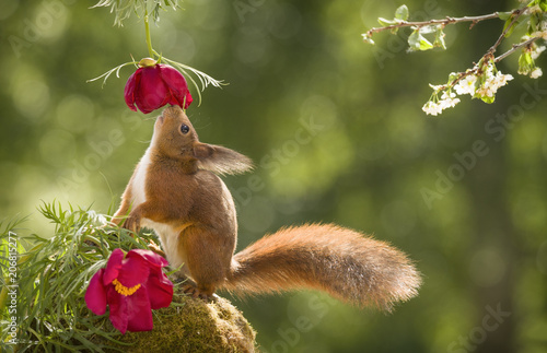 Foto Murales red squirrel looking up at a peony