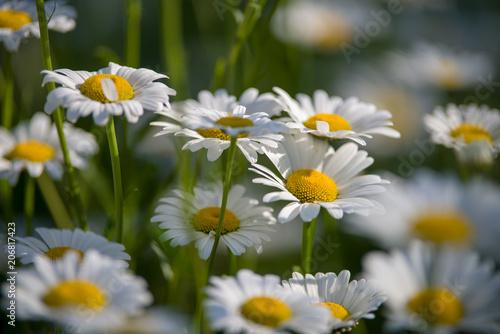 Blumen auf der Sommerwiese