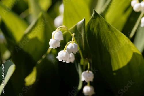 Fotobehang Lelietjes van dalen Macro photo of Lily of the valley (Convallaria majalis) flowers w