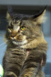 Close-up Portrait of Adorable Maine Coon Cat Stare up Isolated in feline expo