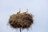 Two white stork on the nest in the spring