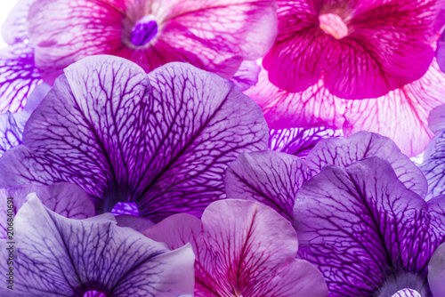 background from flower petals - purple petunia - 206840691