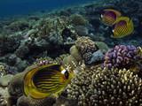 Raccoon butterflyfish (chaetodon fasciatus) - 206848031
