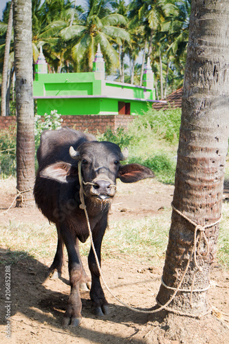 Foto Murales Young Buffalo tied to palm tree