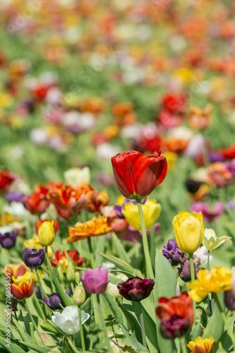 Fotobehang Tulpen Tulpenfeld im Frühling