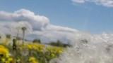 Moving past wispy dandelions in summer field - 206857454