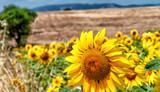 Sunflower meadows in summer