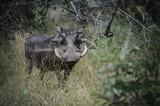 Phacochère dans une réserve en Afrique du Sud - 206868299