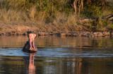 Hippopotame dans une réserve en Afrique du Sud - 206869456