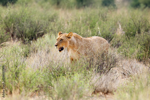 Canvas Lion Lioness (Panthera leo krugeri) is walking it the savanna and looking for the rest of the lion pride.