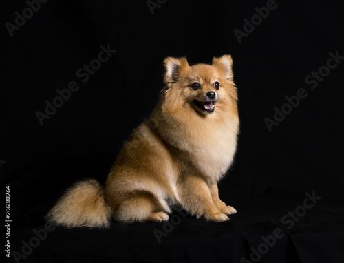 A Pomeranian Dog Sitting On A Black Background Buy Photos Ap