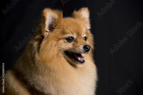 The Face Of A Pomeranian Dog Sitting On A Black Background Buy