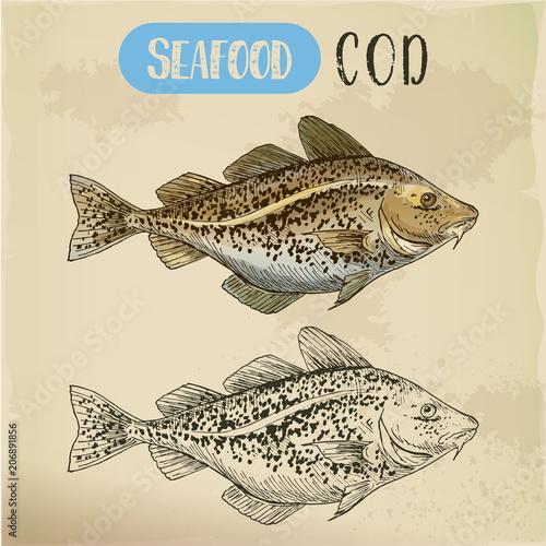 Fototapeta Sketch of atlantic or pacific cod, fish or seafood