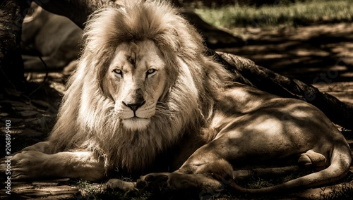 Canvas Lion beautiful golden lion wild animal zoo wallpaper gold