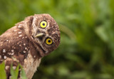 Funny Burrowing owl Athene cunicularia tilts its head outside its burrow - 206905438