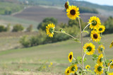 Sunflowers in Tuscany 4