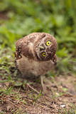 Funny Burrowing owl Athene cunicularia tilts its head outside its burrow - 206907018