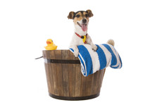 A Fox Terrier Waiting For Bath Time  Towel And Rubber Duck Sticker
