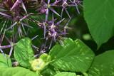 Kwitnący czosnek ozdobny - 206917227