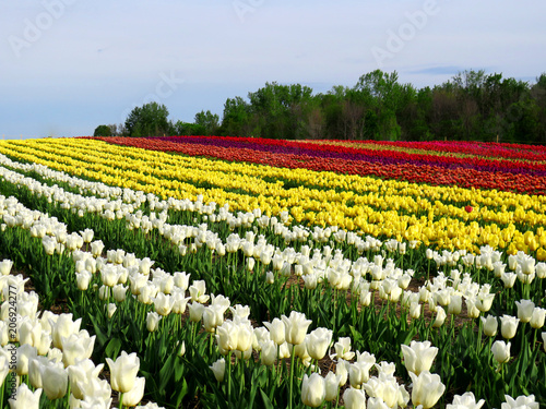 Fotobehang Tulpen Field of colorful tulips on a hill with woods in the background