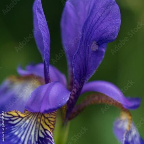 Aluminium Iris Flower Close-Up