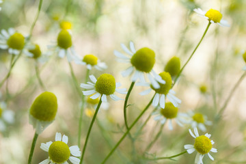Agriculture chamomile, natural antiseptic.