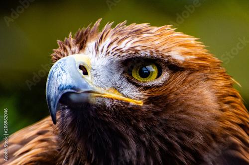 Canvas Eagle Common Buzzard