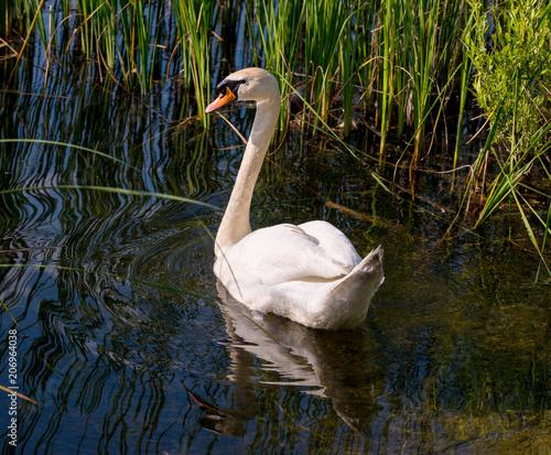 Aluminium Zwaan White swan on the lake