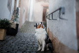 Obedient dog on the street, Europe, old city. Australian Shepherd