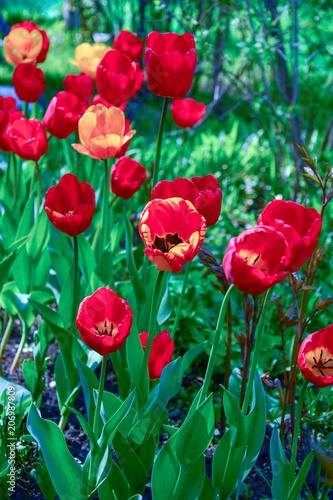 Fotobehang Tulpen Red tulips on a flower bed in a park