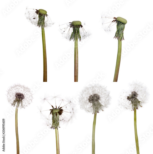 Canvas Paardenbloemen seven isolated white old dandelions