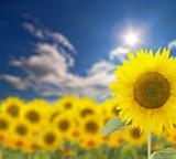 large sunflower on bright sunny background