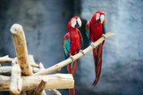 a pair of red parrots sits on a branch