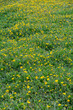 Bright yellow dandelions flowering in a picturesque glade