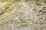 peanut field with irrigation system - 207015889