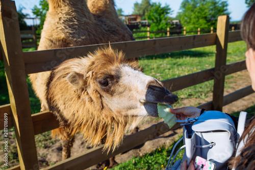 Fotobehang Kameel camel. feeding animal. weekend in zoo