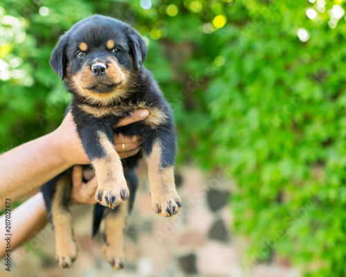 Cute Rottweiler Puppy In Hands Outdoors Buy Photos Ap Images