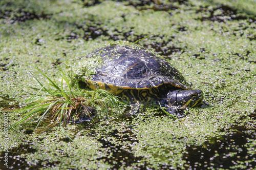 Aluminium Schildpad Sumpfschildkröte - Wasserschildkröte