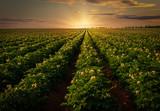 Sunset over a potato field in rural Prince Edward Island, Canada. - 207035862
