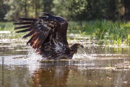 Canvas Eagle Seeadler im See