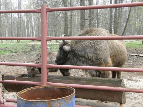 Fotobehang Bison animal, animal themes, animal wildlife, animals in captivity, barrier, Boundary, day, domestic, domestic animals, fence, mammal, metal, Nature, no people, one animal, outdoors, pets, Railing, vertebra
