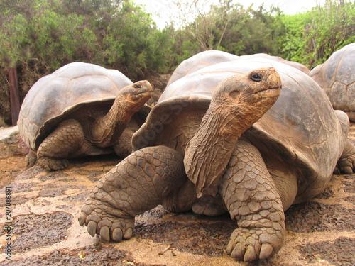 Aluminium Schildpad Giant tortoise ecuador