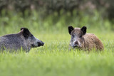 Wild boars in a clearing, in the wild  - 207092033