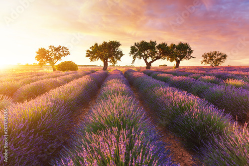 Fototapety, obrazy : Lavender field in Provence during sunset