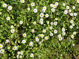 background of many daisies called Bellis Perennis
