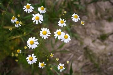 natur, blume, daisy, blume, weiß, sommer, feld, green, frühling, wiese, gras, pflanze, gelb, garden, kamille, daisy, flora, aufblühen, kamille, schönheit, auflösungszeichen, blühen, floral, gewürze, w
