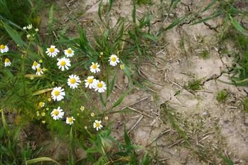 blume, daisy, natur, frühling, gras, green, weiß, pflanze, gelb, sommer, blume, flora, feld, wiese, garden, daisy, aufblühen, schönheit, kamille, blühen, blatt, makro, floral, kamille