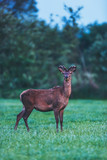 Young red deer buck in spring landscape at dusk. - 207109439